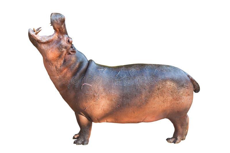 Hippopotamuses isolated on white royalty free stock image