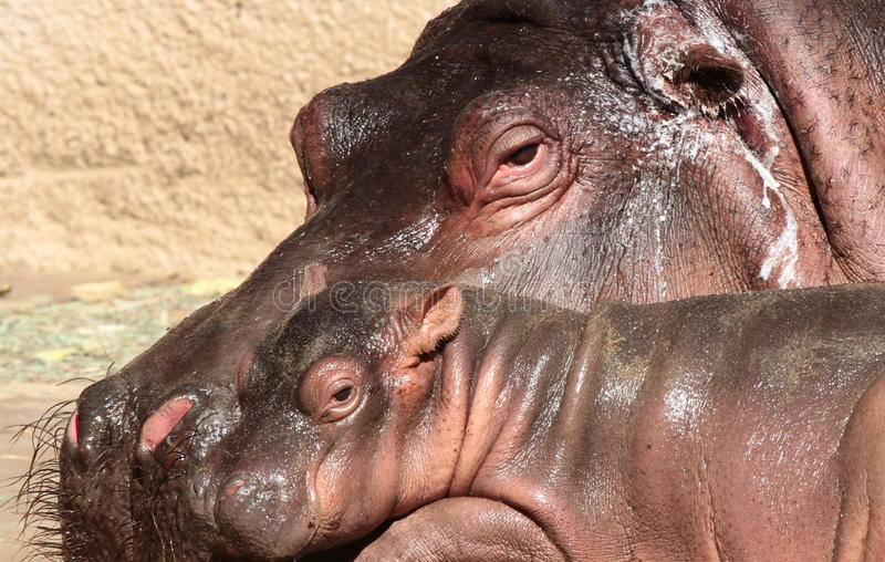 Hippopotomus στοκ φωτογραφίες με δικαίωμα ελεύθερης χρήσης