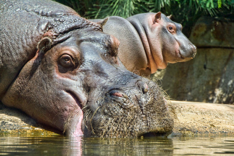 Hippos stock foto's