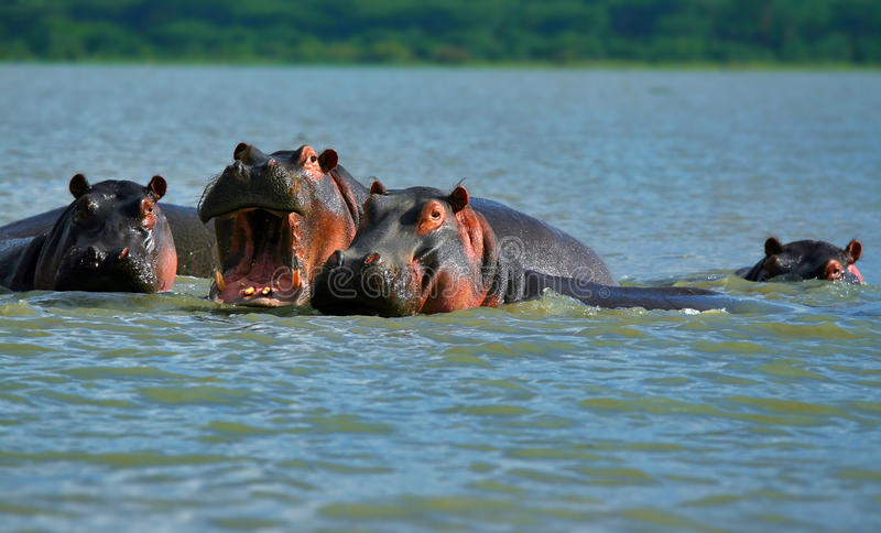 Download Hippos stock image. Image of african, hungry, lake, animal - 10772755