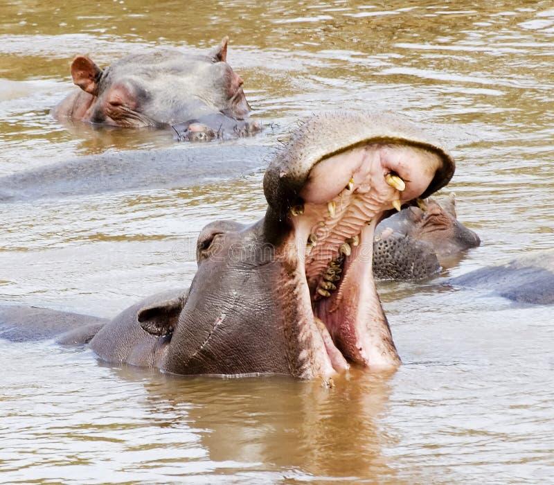 hippos στοκ εικόνες