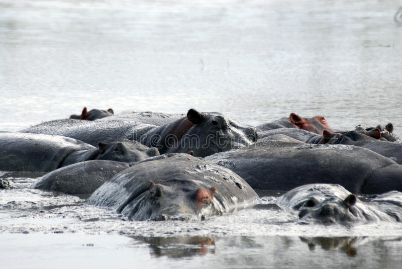hippos stock afbeeldingen