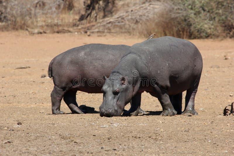 hippos foto de archivo