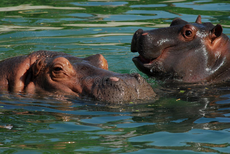 Download Hippos stock image. Image of four, water, river, dark - 9693423