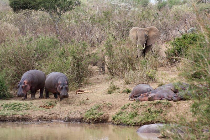 Hippos and elephants on the bank of the Ewaso Nyiro River royalty free stock photo