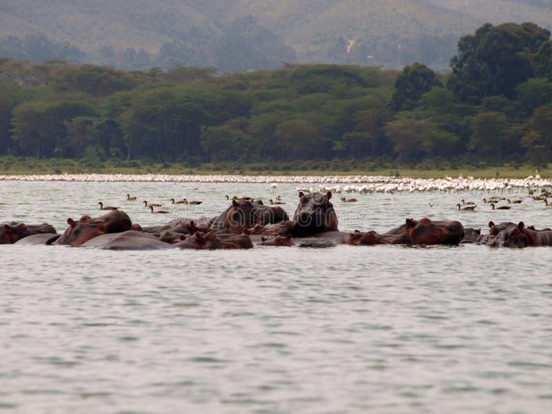 Hippos en flamingo's royalty-vrije stock foto