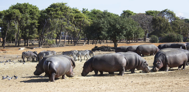 Hippos en zebraskudde royalty-vrije stock foto