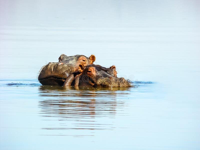 Hippos herd at Lake Naivasha NP, Kenya stock photo