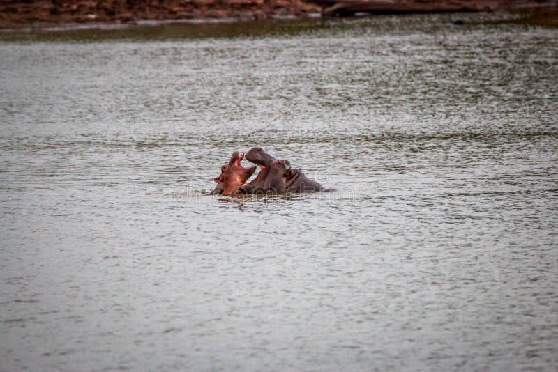 Hippos het spelen in het water stock afbeelding