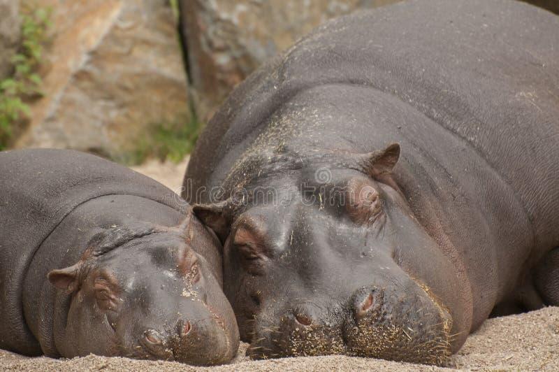 Hippos royalty free stock photos