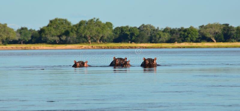 Hippos Peek from the Zambezi River. Mostly submerged hippopotamuses look from the waters of the Zambezi River between Zambia and Zimbabwe, Africa at eye level royalty free stock photo