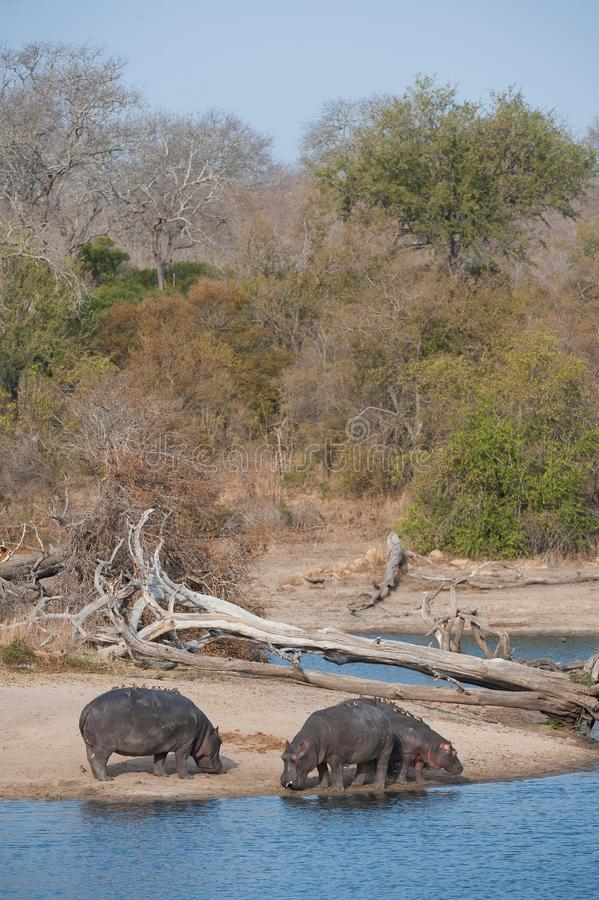 Hippos on a sandy bank beside a dam. stock photography