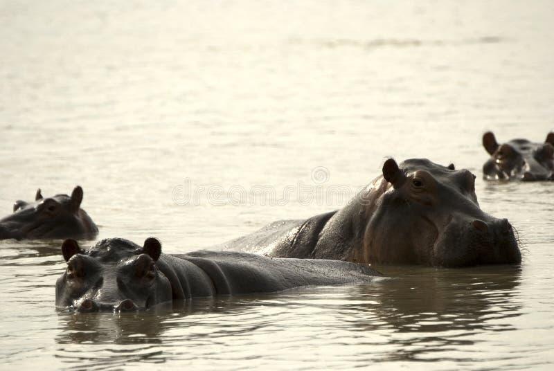 Hippos, Selous National Park, Tanzania stock images