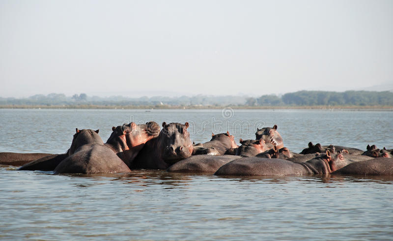 Hippos in the water royalty free stock photos