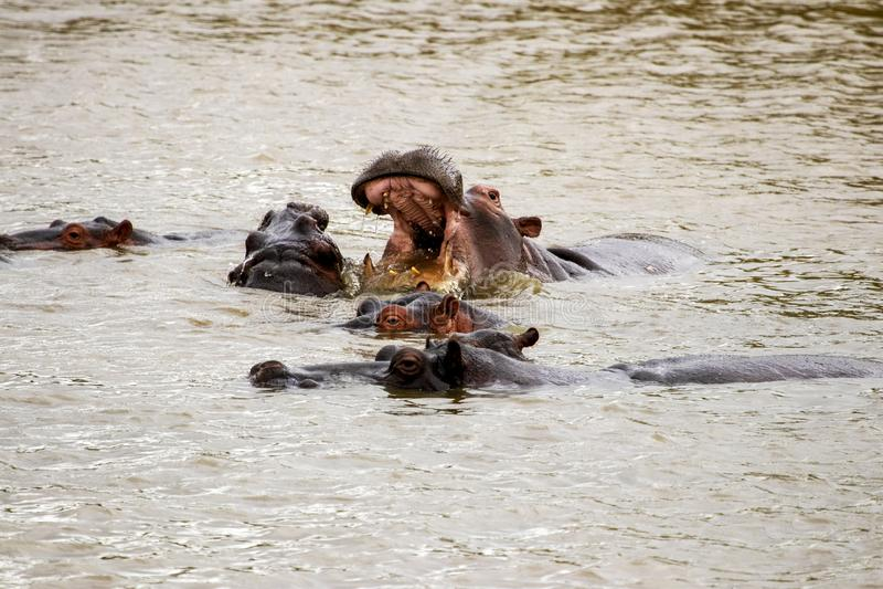Hippos in water, met mond brede open royalty-vrije stock foto's