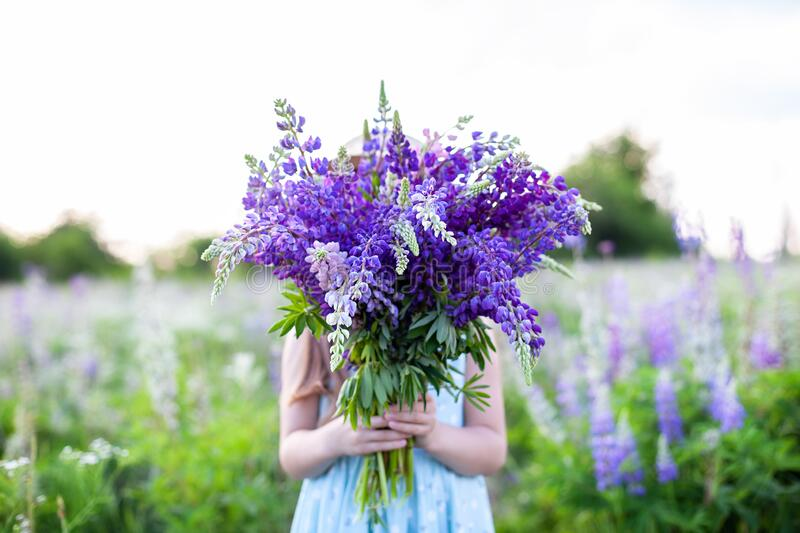 A hippy girl holding bouquet of wildflowers in her hands. Girl hid her face behind bouquet of lupins. Little Girl holds large bouq. Uet of purple lupins in a royalty free stock images