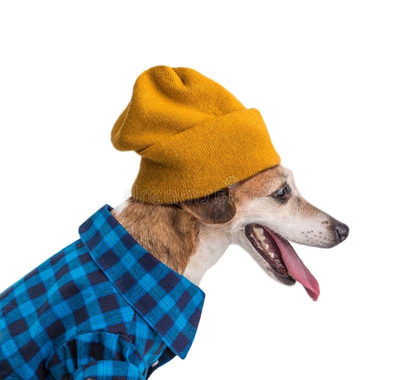 Hipsterhundstående i blå skjorta och gul beanihatt Vit bakgrund Profilsidosikt arkivfoton
