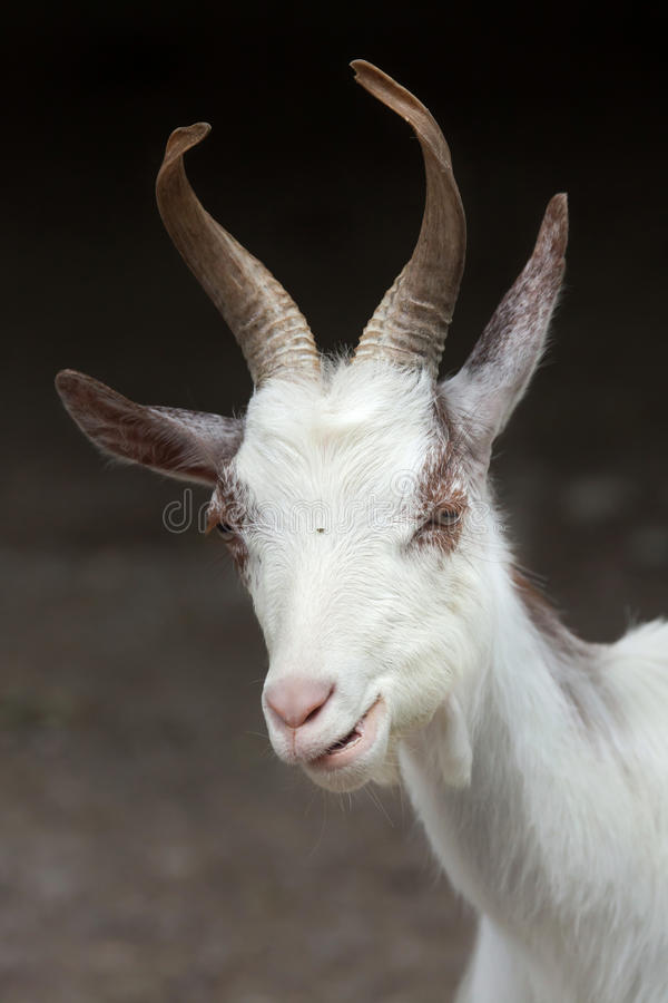 Download Hircus Aegagrus Capra козы Girgentana Стоковое Изображение - изображение насчитывающей европейско, одно: 81810287