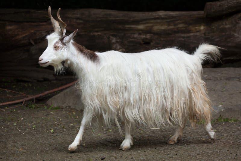 Download Hircus Aegagrus Capra козы Girgentana Стоковое Изображение - изображение насчитывающей присицилийско, итальянско: 81810309
