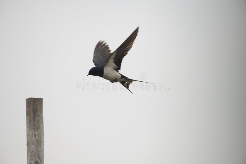 Hirondelle de grange, Mangaljodi, odisha, migrateur, oiseaux, photographie stock