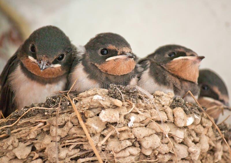 Hirondelles dans un nid photographie stock libre de droits