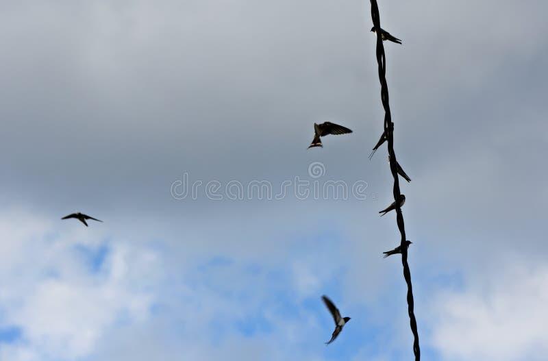 Hirondelles de grange et martins de maison dans le ciel images stock