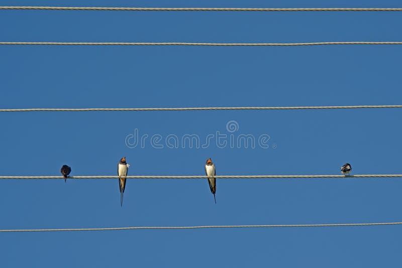 Hirondelles se reposant sur un fil de l'électricité - Hirundinidae photo libre de droits