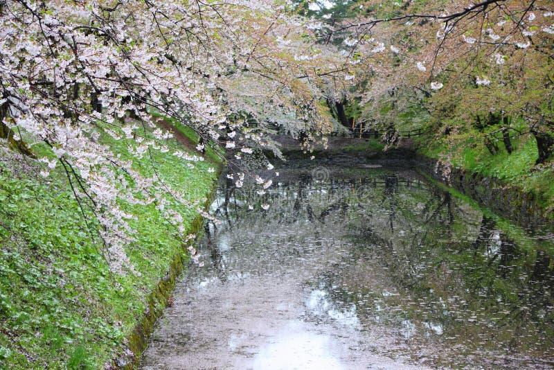 Hirosaki Japan - körsbärsröda blomningar royaltyfri bild