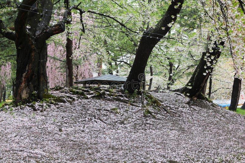 Hirosaki körsbärsröda blomningar royaltyfria foton