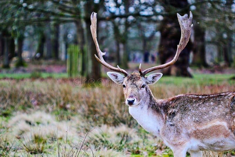 Hirsch im Wald stockbilder