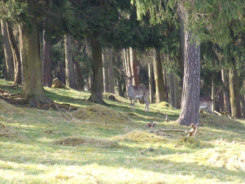 Hirsch im Wald dans Nordhessen/cerfs communs dans la forêt dans Hesse du nord photos stock