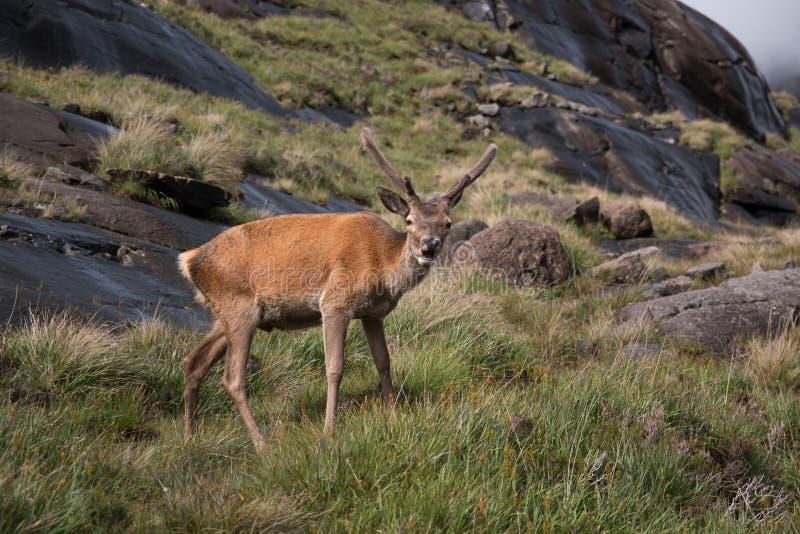 Hirsch, Isle of Skye stockfotografie