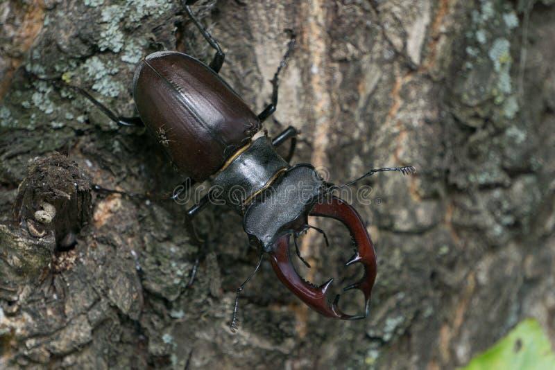 Hirsch-Käfer stockbild