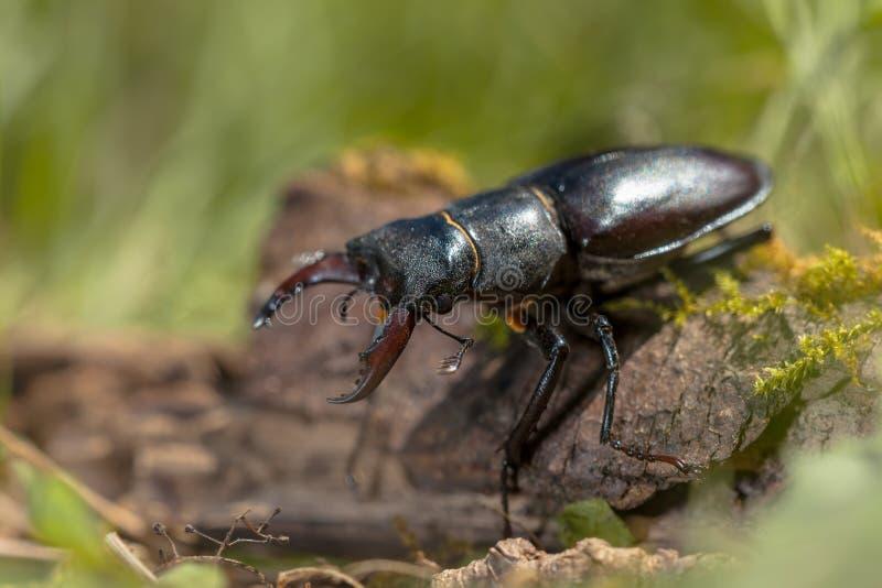 Hirsch-Käfer (Lucanus-Cervus) gehend über ein Logon Forest Fl stockfotos