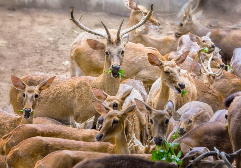 Hirsche, die in der Wachsamkeit weiden lassen lizenzfreie stockfotos