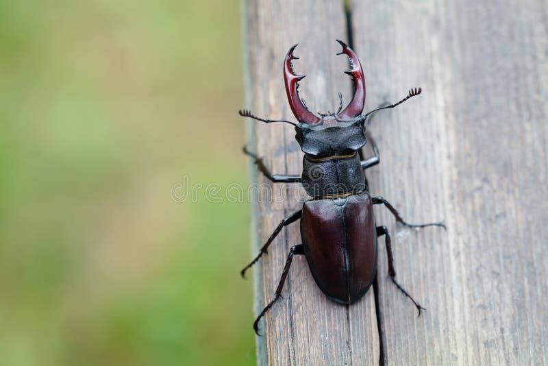 Hirschkäfer Lucanus-Cervus auf hölzernem Hintergrund Makroansicht des roten Insekts der Liste seltenen, Feld der flachen Tiefe lizenzfreies stockbild