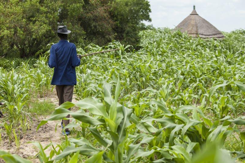 Hirse, die in Süd-Sudan bewirtschaftet stockfotografie
