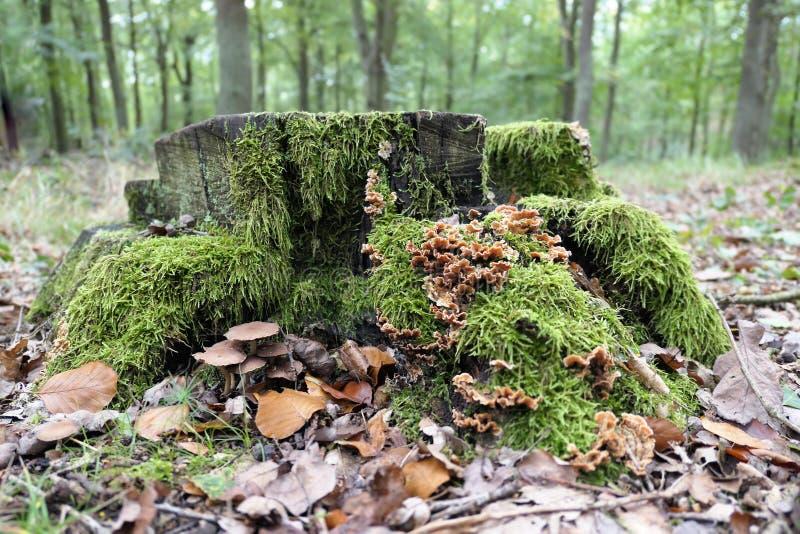 Hirsutum faux de Stereum de champignon de queue de la Turquie photo stock