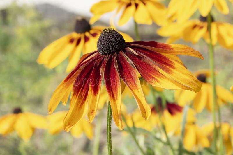 Hirta amarelo do Rudbeckia das flores do jardim do áster, flores constantes do asteraceae pétalas longas e meio escuro foto de stock