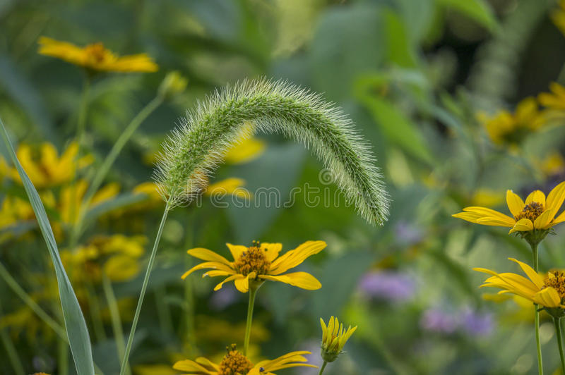 Hirta do Rudbeckia, preto-eyed-susan imagem de stock royalty free