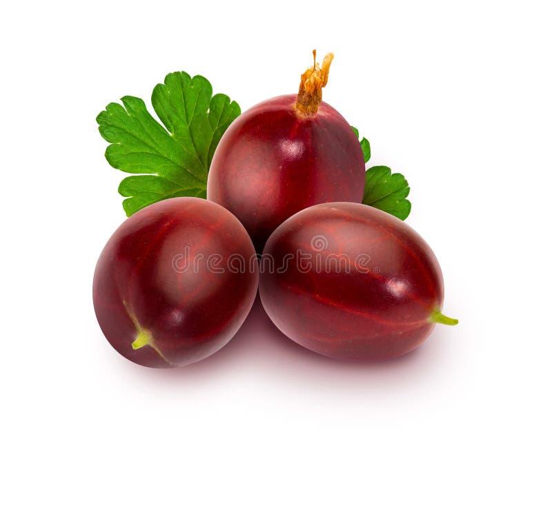 Hirtellum vermelho espinhoso vermelho delicioso do Ribes das groselhas - montou a groselha mostrada em silhueta fotografia de stock royalty free