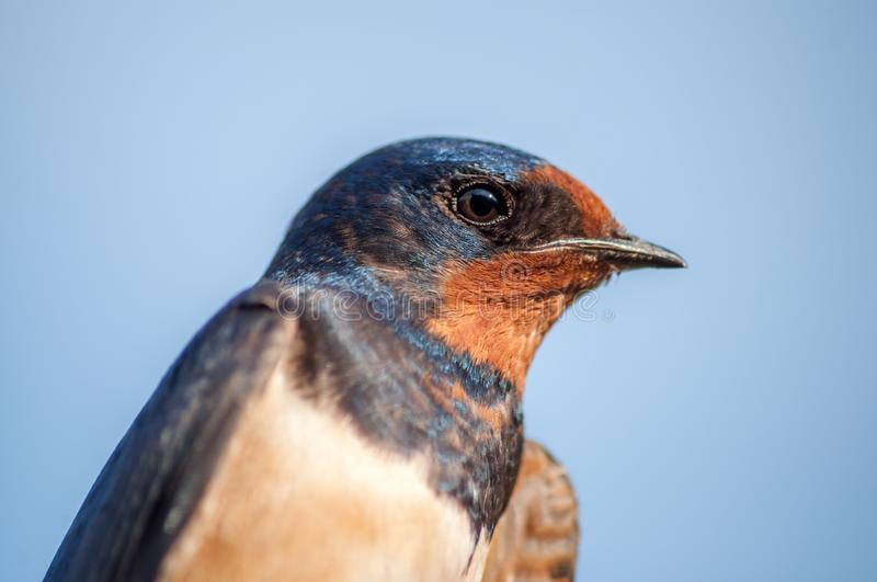 Hirundo rustica or smoke swallow. Head with blue background stock photography