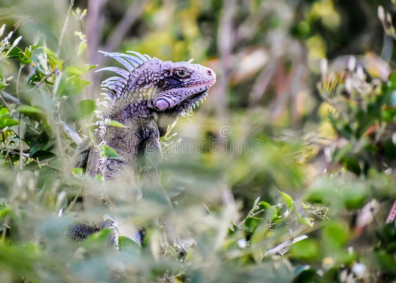 In His Element. A pink iguana gives a menacing glare, caught in his element stock photo