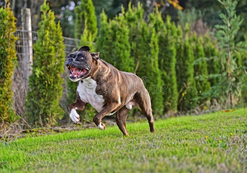 Mouth wide open as this male Brindle Boxer runs towards the camera HDR stock images
