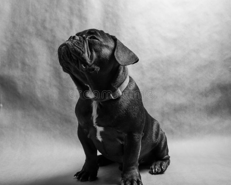 French Bulldog portrait stock image