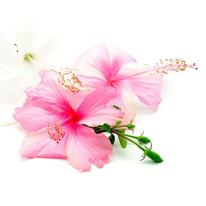 Hisbiscus rose et blanc image stock