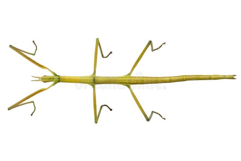Hispanica spagnolo di Leptynia di specie dell'insetto del bastone da passeggio fotografia stock libera da diritti