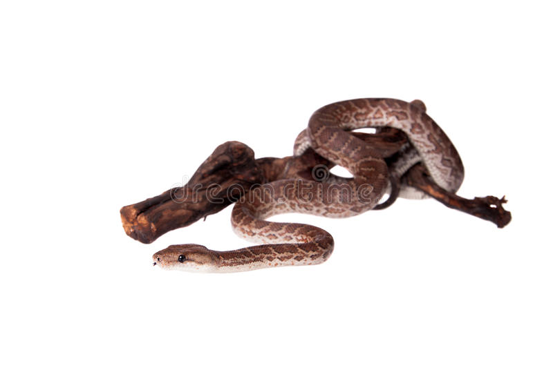 Hispaniolan boa on white background stock photo