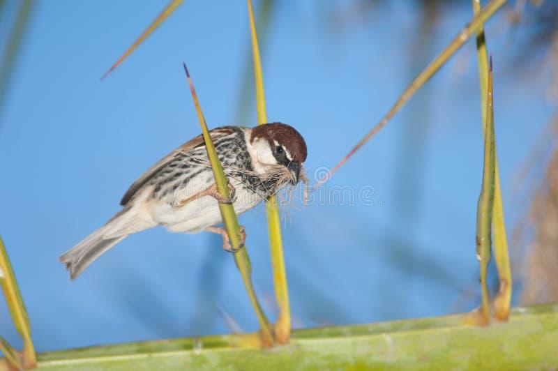 Hispaniolensis spagnolo del passante del passero fotografia stock