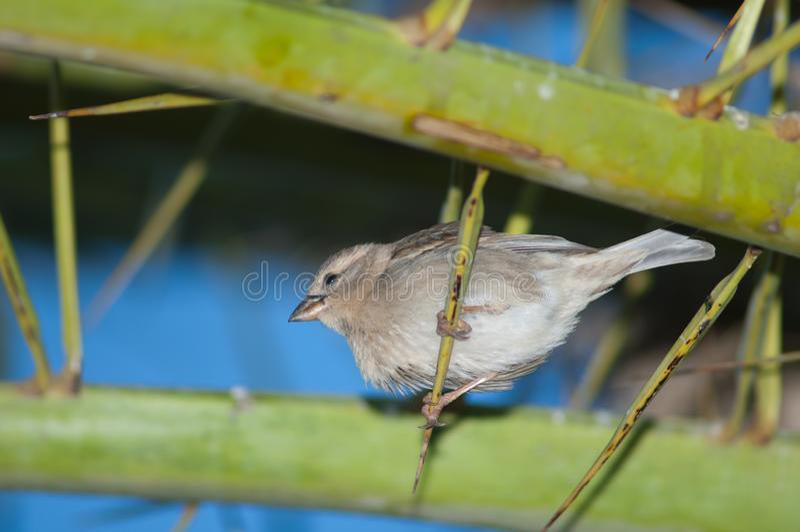 Hispaniolensis spagnolo del passante del passero fotografie stock